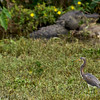 American Alligator and tri-colored egret, central Florida, near Apopka Lake taken by Jerry Dalrymple