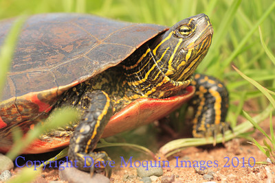 Painted Turtle- N. Refuge Rd.