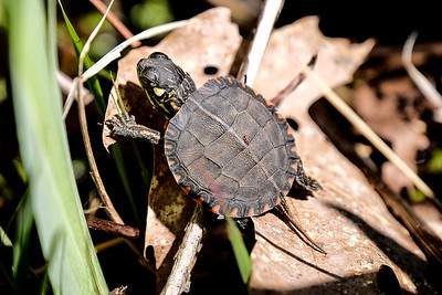 Eastern Painted Turtle - So cute...tiny turtle.