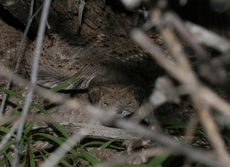Western Diamondback Rattlesnake - Crotalus atrox