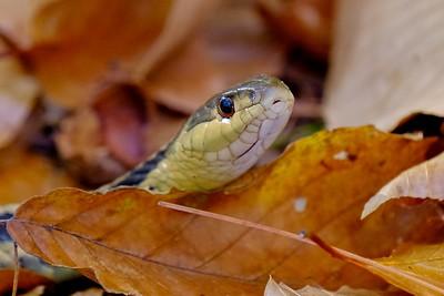 Eastern garter snake (Thamnophis sirtalis).