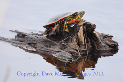 First Painted Turtle of the year- Phantom Lake