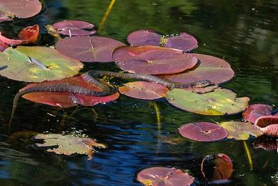 Northern water snake (Nerodia sipedon).