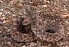 Bullsnake - Pituophis catinefer sayi