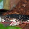 the spitting cobra (naja sputatrix) a dangerous snake capable of spitting venom into its enemies' eyes. Seen here eating a rat
