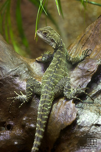 Gippsland Water Dragon (Physignathus lesueurii howittii)