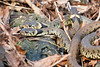 Three grass snakes basking in the early Spring sunshine on the slag heaps at the old lead workings at Charterhouse