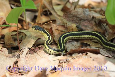 Garter Snake- Boardwalk Trail, Crex Meadows Visitor Center