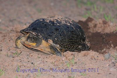 Blandings Turtle laying eggs- N. Refuge Rd., Crex Meadows