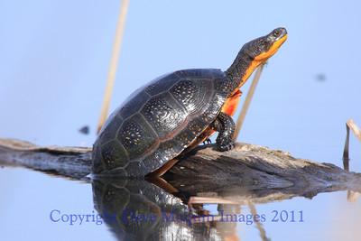 Blandings Turtle- Sherburne NWR