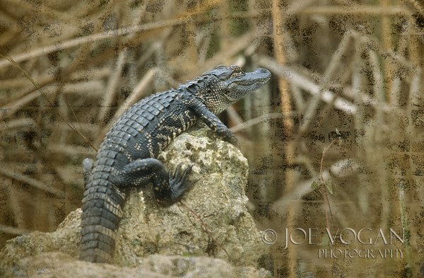 American Alligator, Big Cypress National Preserve, Florida Everglades