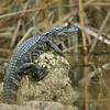 American Alligator, Big Cypress National Preserve, Florida Everglades