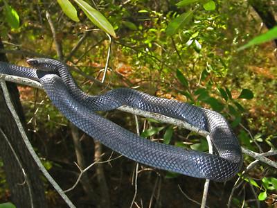 Texas Indigo Snake (Drymarchon melanurus erebennus)
