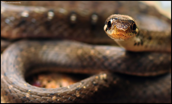 Eye to eye with the Beddome's keelback.....