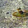 American Bull frog taken at Cincinnati Nature Center near Cincinnati,Ohio by nature photographer Jerry Dalrymple