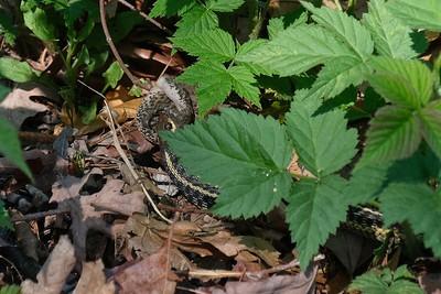 Garter snake enjoying a meal.