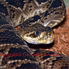 The eastern diamondback rattlesnake (crotalus adamanteus), the largest of the rattlesnake familly