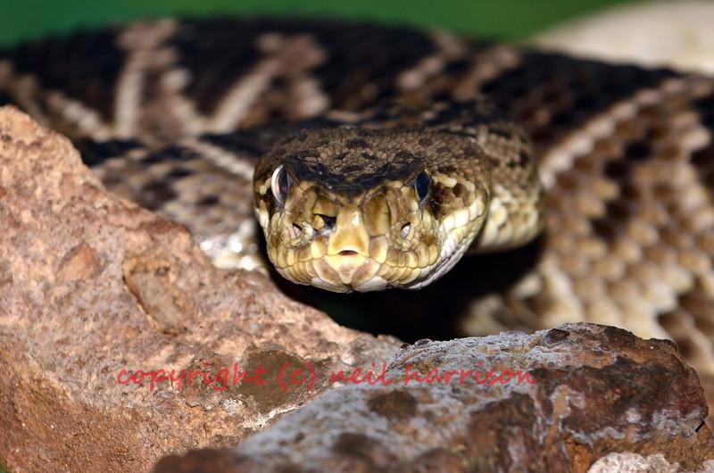 Close up of the eastern diamondback rattle snake. The largest of the rattle snakes and is the heaviest venomous snake.