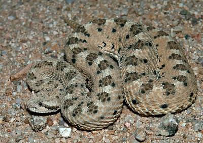 Sonoran Sidewinder Rattlesnake (Crotalus cerastes cercobombus)