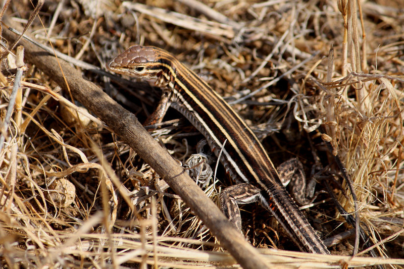 Orange Throated Whiptail