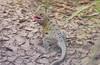 Reticulate Collared Lizard (Crotaphytus reticulatus)
