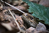 Slow-worm under a leaf