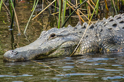 Handsome Gator in the Shallows