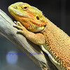 The bearded dragon, otherwise known as the Pogona, or beardie, a native of Australia and popular pet.
