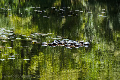 Turtles in Green