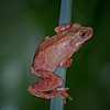 Spring peeper frog taken by nature photographer Jerry Dalrymple
