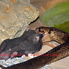 An egyptian cobra (naja haje) eating a rat.  This is the sacred egyptian snake featuring on the uraeus, and is supposed to have killed queen cleopatra