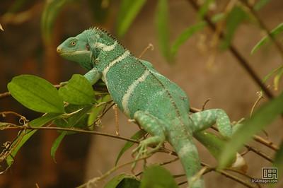 Fijian Crested Iguana (Brachylophus vitiensis)