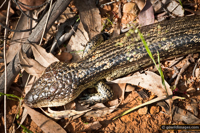Eastern Blue-tongued Lizard near Mt Black in NE Victoria