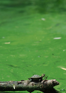 "baby red-eared slider on a branch.  Central Park is a common dumping ground for unwanted pet turtles.  Others are bought from pet shops specifically to be released so that the ""rescuer"" can gain good karma.  It's also a great way to introduce diseases into a wild community."