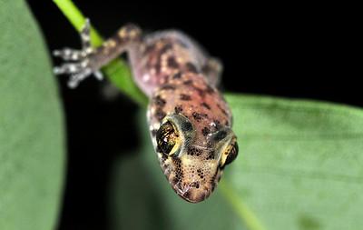 Baby Mediterranean Gecko