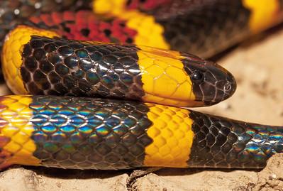 Texas Coral Snake - Micrurus tener