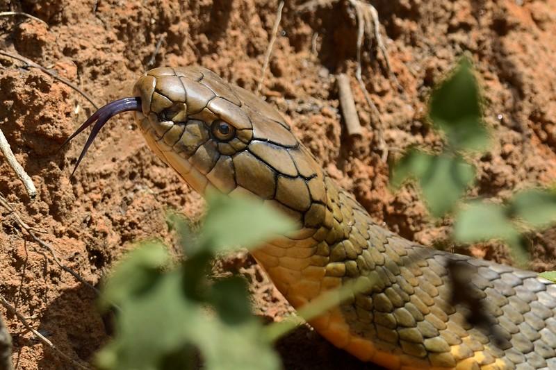 The King Cobra ( male )