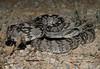 Black-Tailed Rattlesnake (Crotalus molossus)