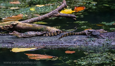 Juvenile Caiman on a Log