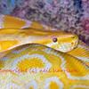 Large female burmese python albono variant (python molorus bivittatus) easily large enough to kill a man