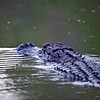 American alligator taken in the Okefenokee swamp by nature photographer Jerry Dalrymple