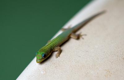"Baby gecko (about 1.5""), Maui, Hawaii. May 2012"