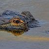 American alligator, central Florida taken by Jerry Dalrymple