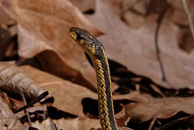 Eastern Garter Snake (Thamniophis sirtalis).