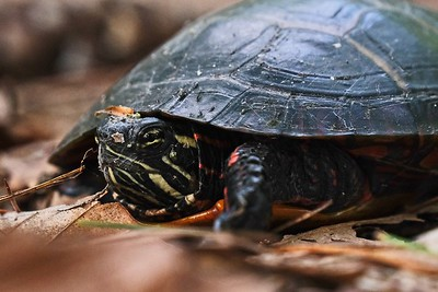 Eastern Painted Turtle - Chrysemys picta.