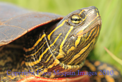 Painted Turtle- Crex Meadows