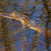American Alligator - juvenil