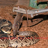 Feeding a rattlesnake safely with a dead rat using snake tongs, to ensure keeping the deadly serpent at a distance