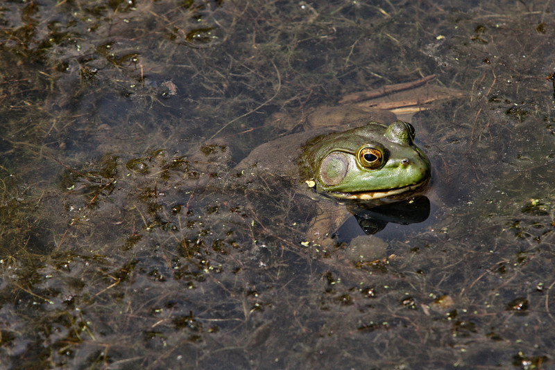 American Bull frog taken at Cox Arboretum near Dayton, Ohio by nature photographer Jerry Dalrymple