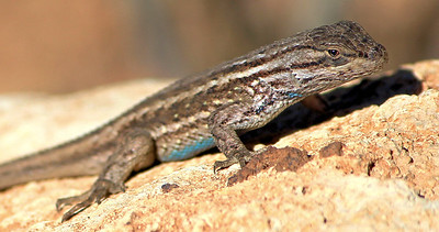 """Grand Canyon Lizard"""